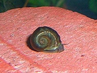 Ramshorn snail - An aquarium ramshorn snail