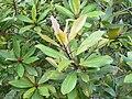 Rapanea melanophloeos - Cape Town - Trees - 7.JPG