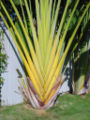 Ravenala madagascariensis B.jpg