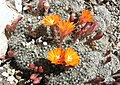 Rebutia flavistylus 2.jpg