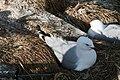 Red-Billed Gull-Nueva Zelanda1.jpg