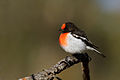Red-capped Robin (Petroica goodenovii) (20409220074).jpg