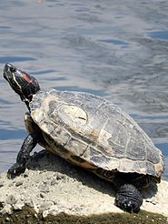 A Red-eared slider turtle at the river