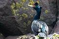 Red-faced Cormorant on St. Paul Island by Lisa Hupp USFWS.jpg