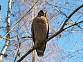Red-shouldered Hawk Buteo lineatus.jpg