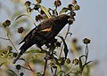Red-winged Blackbird (37621292862).jpg