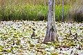 Red-winged blackbird (27743288948).jpg