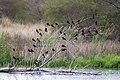 Red-winged blackbird (46092939964).jpg