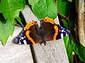 Red Admiral (14672133019).jpg