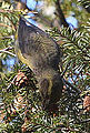 Red Crossbill (8204919376).jpg
