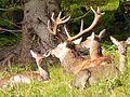 Red Deer (10562123963).jpg