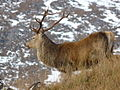Red Deer at Glen Strathfarrar - geograph.org.uk - 1029463.jpg