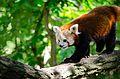 Red Panda (20052979349).jpg