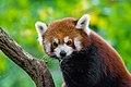 Red Panda (24169606218).jpg