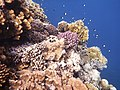 Red Sea Corals4.JPG