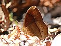 Red disc bush brown Anamudi shola kerala IMG 1721.jpg