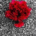 Red rose. Kd.jpg