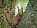 Red squirrel (47686220142).jpg