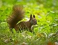 Red squirrel (50519681651).jpg