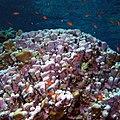 Reef scene with coralline algae (36204828210).jpg
