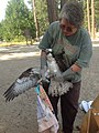 Releasing the Osprey (8432745043).jpg