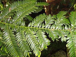 Retrophyllum rospigliosii - Leaves showing the pectinate arrangement.
