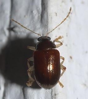 <i>Rhabdopterus</i> Genus of leaf beetles