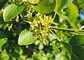 Rhamnus cathartica kz01.jpg