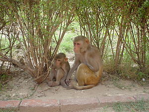 Rhesus monkeys (Macaca mulatta) Agra, India. These macaques are the most common monkeys used in biomedical research.