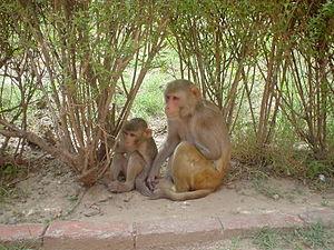Fauna of Puerto Rico - Rhesus macaques, a mammal introduced to Puerto Rico