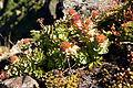 Rhodiola rosea 04.jpg