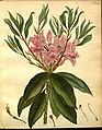 Rhododendron × azaleoides 2.jpg
