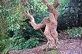 Rhododendron Plas Glyn y Weddw - geograph.org.uk - 668197.jpg