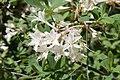 Rhododendron atlanticum 7zz.jpg