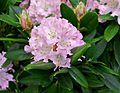 Rhododendron cultivar pink.jpg