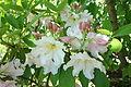 Rhododendron fortunei - Arnold Arboretum - DSC06775.JPG