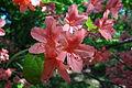Rhododendron kaempferi - Arnold Arboretum - DSC06713.JPG