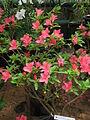 Rhododendron pulchrum 01.JPG