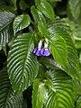 Rhychoglossum azureum.jpg