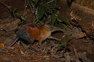 The largest living species of elephant shrew in the world