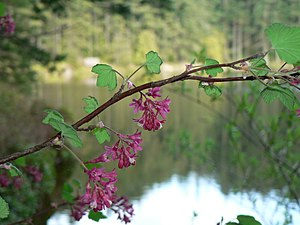 Redflower Currant, Red-flowering Currant