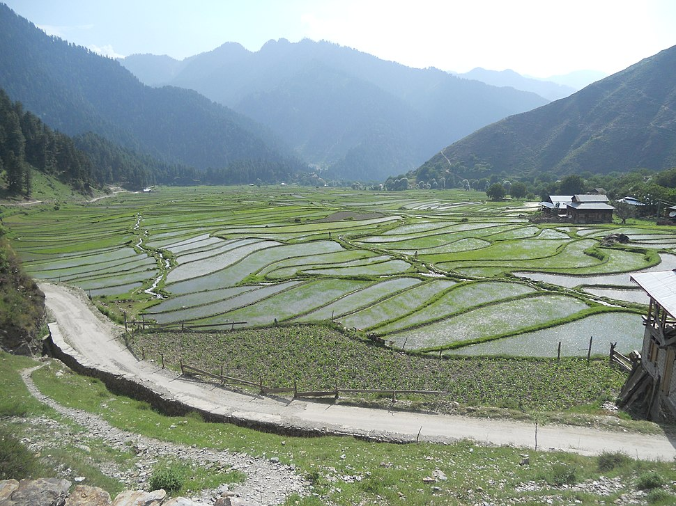 Rice Cultivaiton in Leepa AJK