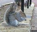 Richmond Hill Squirrel - geograph.org.uk - 1175895.jpg