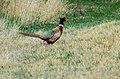 Ring-necked Pheasant (Phasianus colchicus) (129826488).jpg