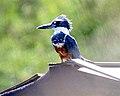 Ringed Kingfisher (Megaceryle torquata) - Flickr - Lip Kee.jpg