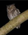Rinjani Scops Owl Otus jolandae, Lombok - journal.pone.0053712.g001-left.png