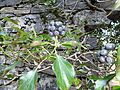 Ripe Ivy berries (Hedera helix) at Auchans, Dundonald.JPG