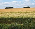 Ripening barley by The Beck - geograph.org.uk - 863999.jpg