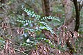 Robinia pseudoacacia - black locust - Robinie - robinier faux-acacia 06.jpg