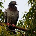 Rock Pigeon bird.JPG